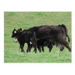 Vaca y becerros postal