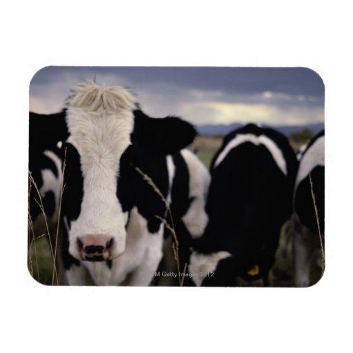 Vacas 3 iman de vinilo