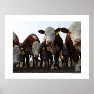 Vacas curiosas 1 poster