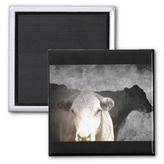 Vacas curiosas imán cuadrado
