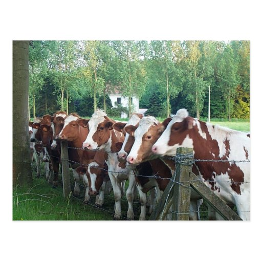 Vacas curiosas postales