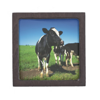 Vacas de Holstein en un campo Caja De Recuerdo De Calidad