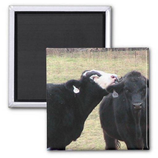 Vacas de la madre que lamen a su niño imán cuadrado