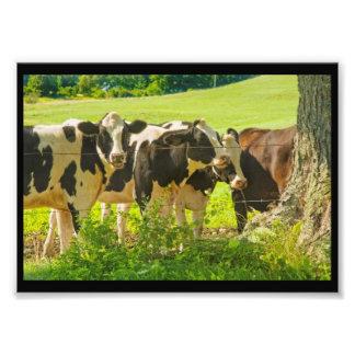 Vacas debajo del árbol en el campo de granja, fotografía