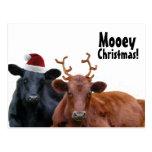 Vacas del día de fiesta del navidad en el gorra y  tarjetas postales