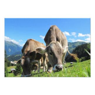 Vacas en Austria Cojinete