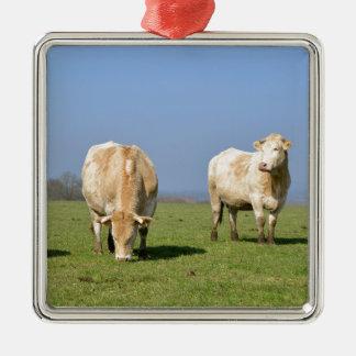 Vacas en campo adorno cuadrado plateado