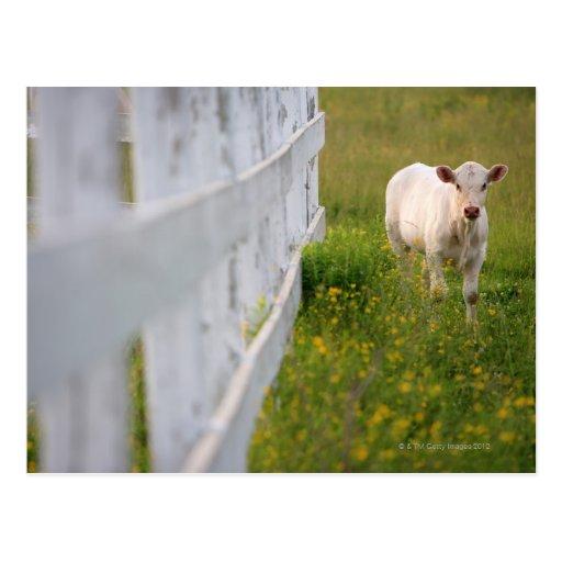 Vacas en el campo postales
