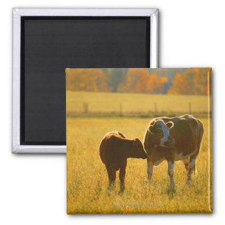 Vacas en el pasto imanes de nevera