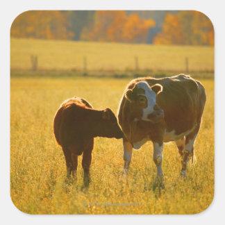 Vacas en el pasto pegatina cuadrada