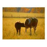Vacas en el pasto postal