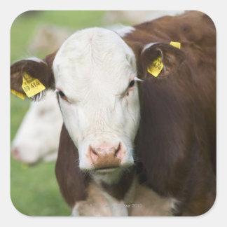 Vacas en el pasto, primer pegatina cuadrada