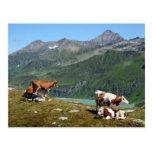 Vacas en las montañas postales