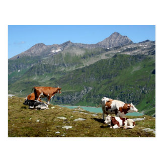 Vacas en las montañas tarjeta postal
