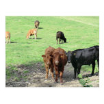 Vacas en País de Gales Postal