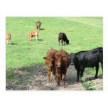 Vacas en País de Gales Tarjetas Postales