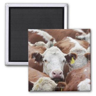 Vacas en un corral imán cuadrado
