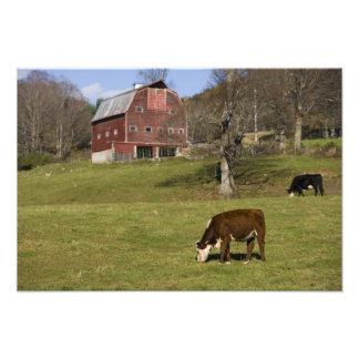 Vacas en una granja en Fairlee del oeste, Vermont. Fotografias