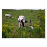 vacas impresiones