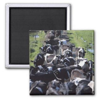 Vacas lecheras de Fresian, aguardando el ordeño, C Imán Cuadrado