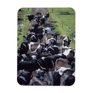 Vacas lecheras de Fresian, aguardando el ordeño, C Iman Flexible