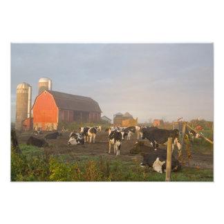 Vacas lecheras de Holstein fuera de un granero en  Fotografía