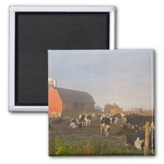 Vacas lecheras de Holstein fuera de un granero en  Imanes Para Frigoríficos