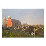 Vacas lecheras de Holstein fuera de un granero en  Fotografias