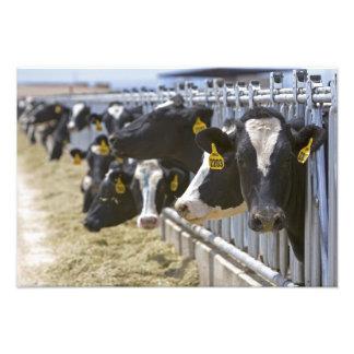 Vacas lecheras en un forraje en Grandview, Idaho Fotografía