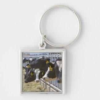 Vacas lecheras en un forraje en Grandview, Idaho Llavero Cuadrado Plateado