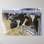 Vacas lecheras en un forraje en Grandview, Idaho Impresiones