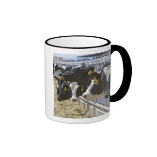 Vacas lecheras en un forraje en Grandview, Idaho Tazas