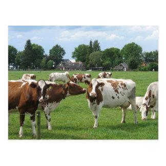 Vacas lecheras que le miran postal