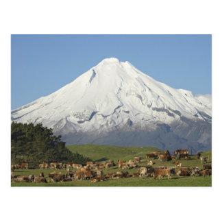 Vacas lecheras y tierras de labrantío cerca de postal