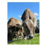 Vacas lindas en Austria Postal