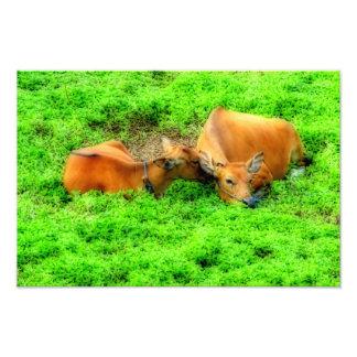 Vacas Nuzzling Fotografía