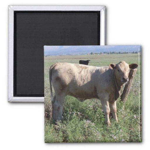 Vacas occidentales lindas del ganado de la vaca qu imán cuadrado