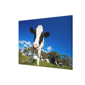Vacas que alimentan en el pasto 2 impresión en lona estirada