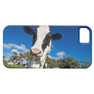 Vacas que alimentan en el pasto 2 iPhone 5 fundas