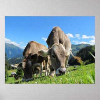 Vacas que comen la hierba posters