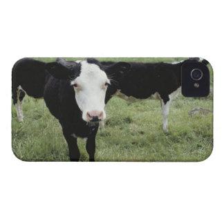 Vacas que pastan en el prado, Nueva Escocia, iPhone 4 Case-Mate Funda