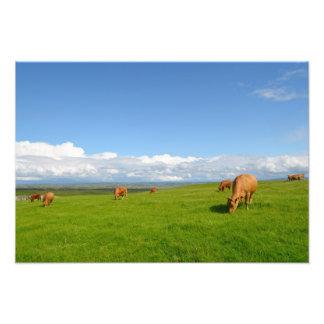 Vacas que pastan en un prado en Irlanda Fotografías