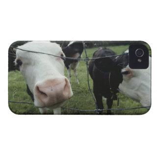 Vacas que se colocan en el pasto de la hierba, Case-Mate iPhone 4 cárcasas