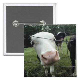 Vacas que se colocan en el pasto de la hierba, Nue Pin