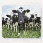 Vacas que se colocan en una fila que mira la alfombrillas de ratones