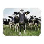 Vacas que se colocan en una fila que mira la cámar iman flexible