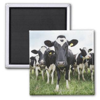 Vacas que se colocan en una fila que mira la cámar imán cuadrado