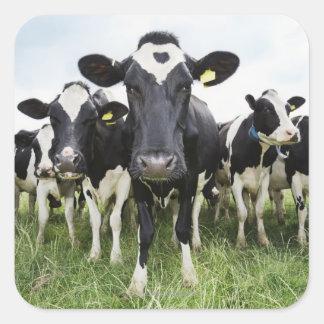 Vacas que se colocan en una fila que mira la cámar calcomanías cuadradass personalizadas