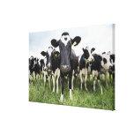 Vacas que se colocan en una fila que mira la lona envuelta para galerías