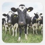 Vacas que se colocan en una fila que mira la pegatina cuadrada